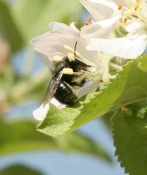 Megachilid on apple