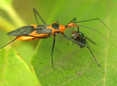 Female Zelus has captured the blowfly