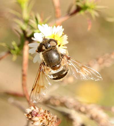 Dronefly on frostweed