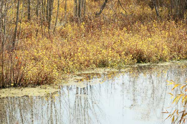 Beaver pond with Bidens laevis
