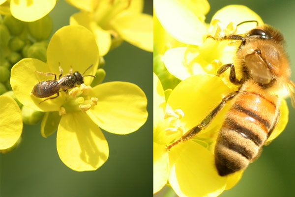 Presumed Lasioglossum bee visits bok choy on February 5